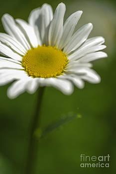 Daisy by Donald Davis
