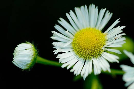 Devinder Sangha - Daisy flower and bud