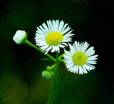 Devinder Sangha - Daisy flowers on stem