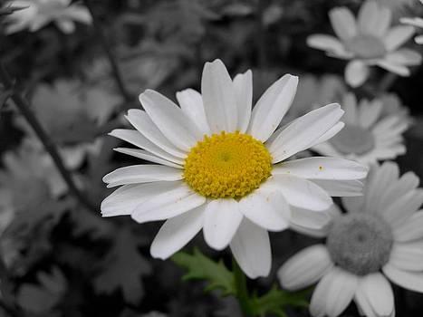 Daisy by Galexa Ch