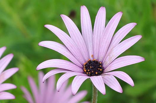 Daisy in Purple by Jan Scholke