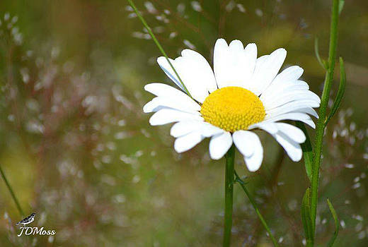 Daisy by Janet Moss