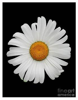 Daisy by Lynn Jackson