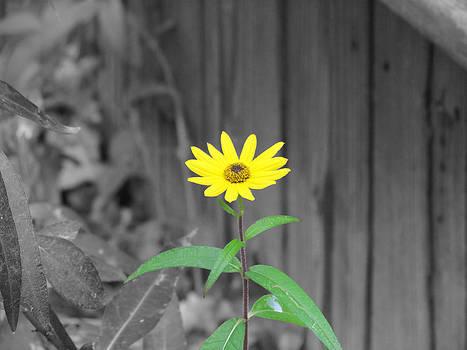 Daisy by Michael Creamer