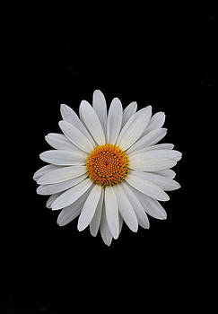 Bill Owen - Daisy On Black