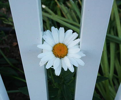 Daisy Poking Through by Stephen Melcher