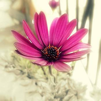 Daisy Purple by Ioanna Papanikolaou