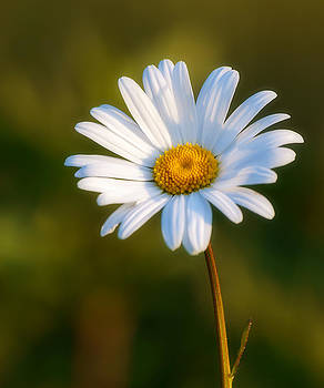 Daisy by Trevor Wintle