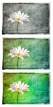 Daisy Trio by Randy  Lee
