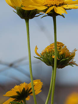 Daisy Umbrella by Justyne Moore