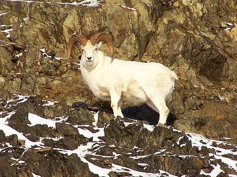Dall Sheep Ram by Shelly Rochon