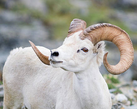 Dall's Sheep ram by Doug Herr