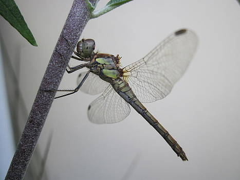 Damaged Dragonfly by Heather Gordon