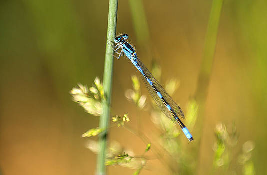 Damsel at Rest by Tracy Thomas