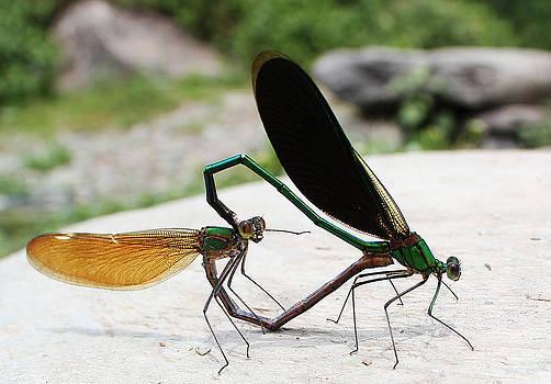 Damselflies Mating by Vishal Kumar