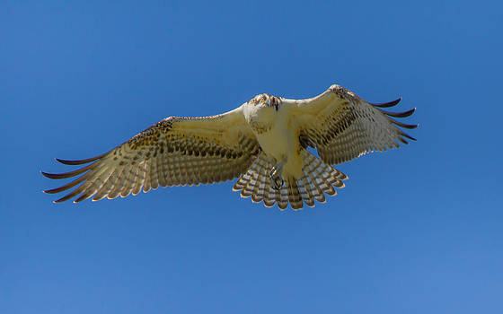 Dance Of Osprey by Laura Bentley