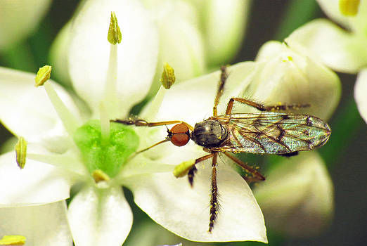 Dancefly on Onion Flower by Walter Klockers