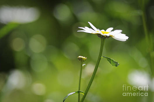 Dancing Daisy by Donald Davis