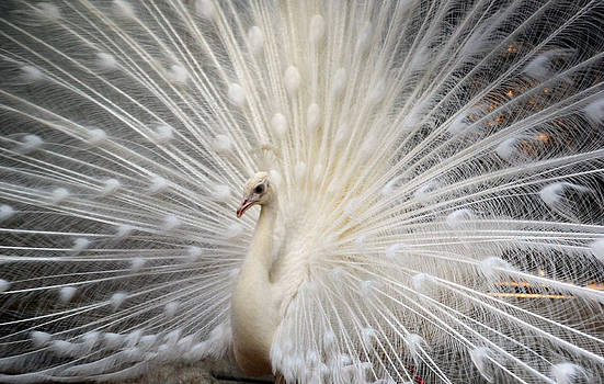Dancing White Peacock by Devendra Dube