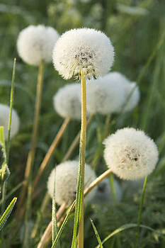 Dandelion Clocks by Dawn Gilfillan