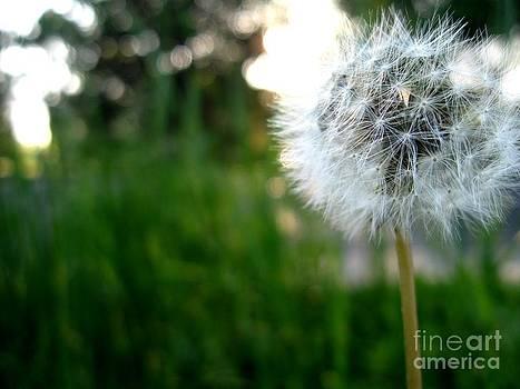Dandelion by Crissy Boss