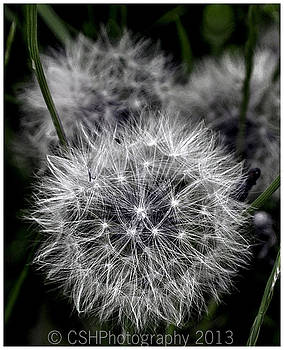 Dandelion by CSH Photography