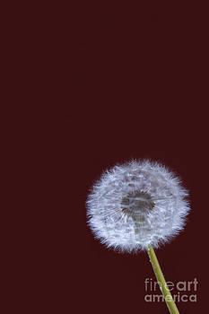 Dandelion by Donald Davis