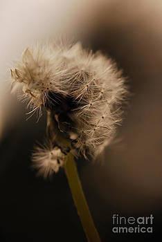 Dandelion by Evelyn Allen