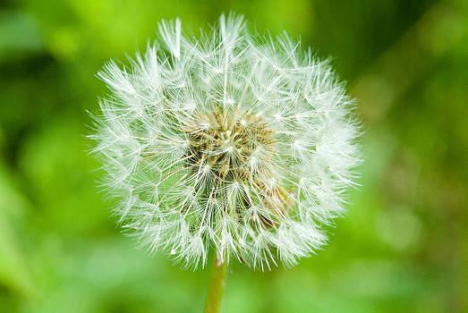 Devinder Sangha - Dandelion flower