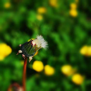 Dandelion In Spring by John Magnet Bell