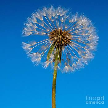 Dandelion by John Hassler