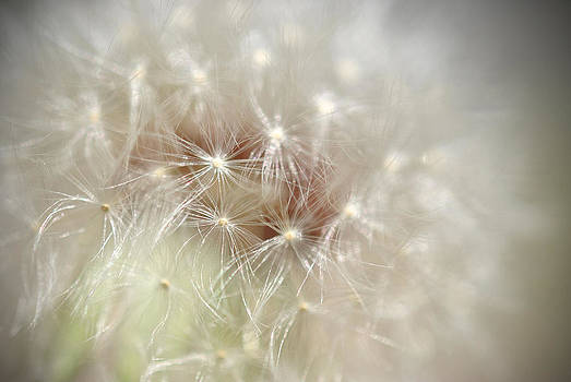 Dandelion by Kathy Williams-Walkup