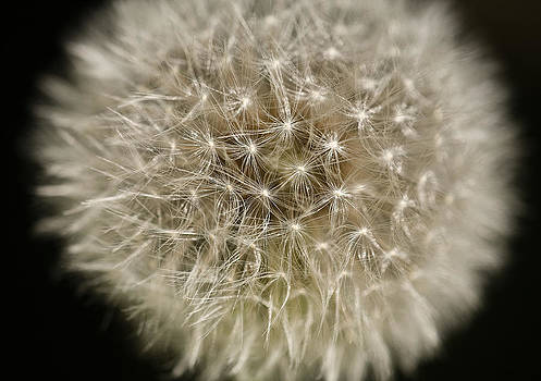 Dandelion by Kim Aston
