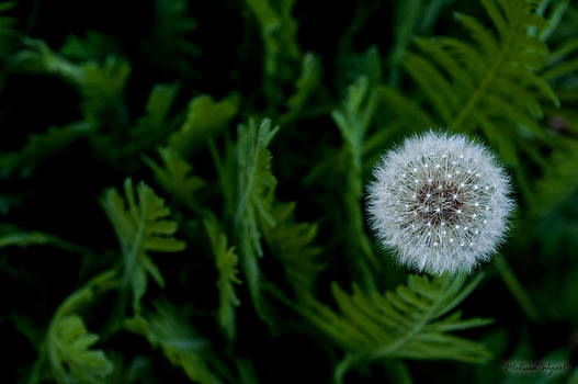 Dandelion Light by Melissa Wyatt