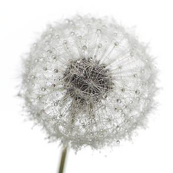 Dandelion by Lotte Funch