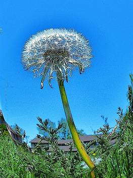 Dandelion by Mark Malitz