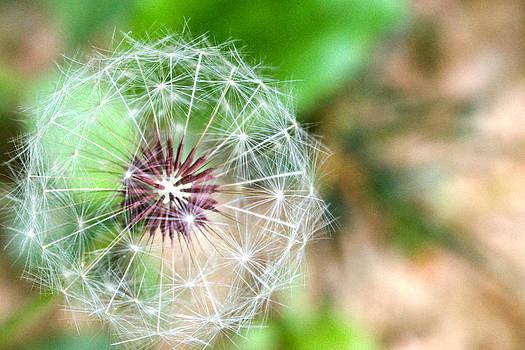 Dandelion by Nichole Carpenter