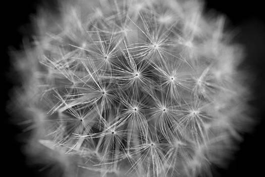 Dandelion Seed Head by Gillian Dernie