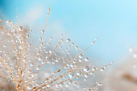 Dandelion by Svetoslav Radkov