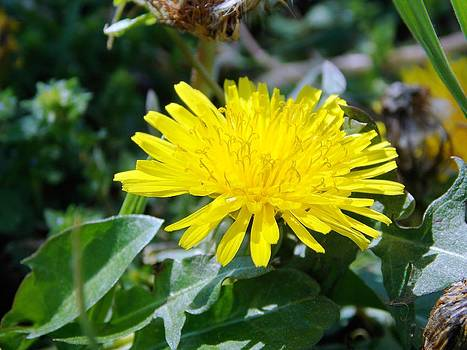 Dandelion Time by Regina McLeroy