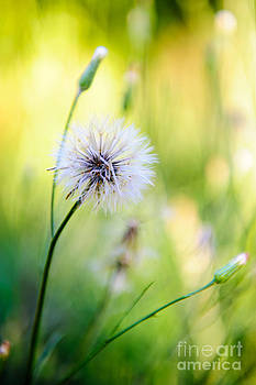 Dandelion Wishes by Charles Dobbs