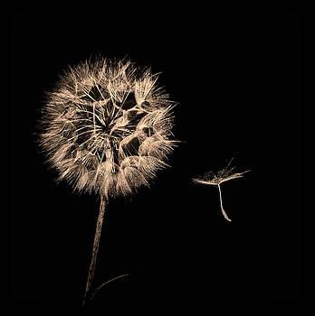 Dandelion With Seed by Marinus En Charlotte