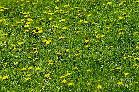 Dandelions by Gary Onuschak
