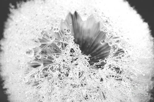 Alanna DPhoto - Dandy Dew Black and White