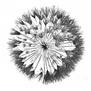 DandyLion Black on White by Clayton Bruster