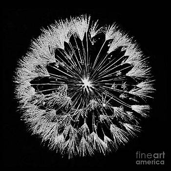 DandyLion White on Black by Clayton Bruster