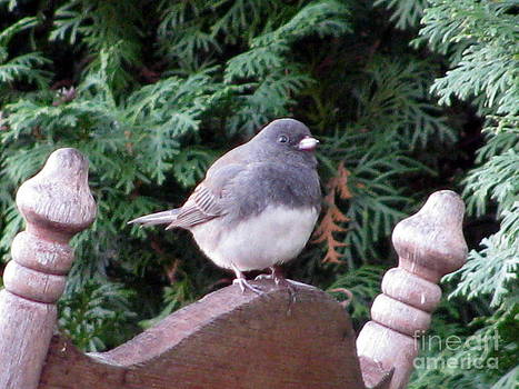 Dark Eyed Junco  by Corinna Garza