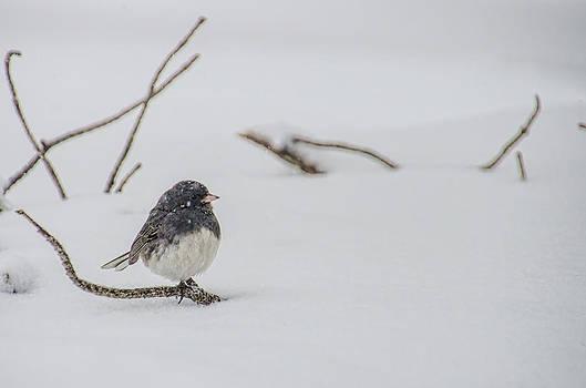 Dark Eyed Junco During Snowfall by Beth Sawickie