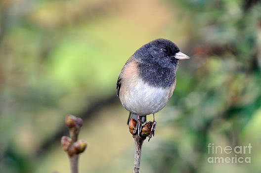Dark Eyed Junco by Laura Mountainspring