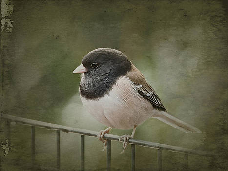 Dark-Eyed Junco  by Parrish Todd